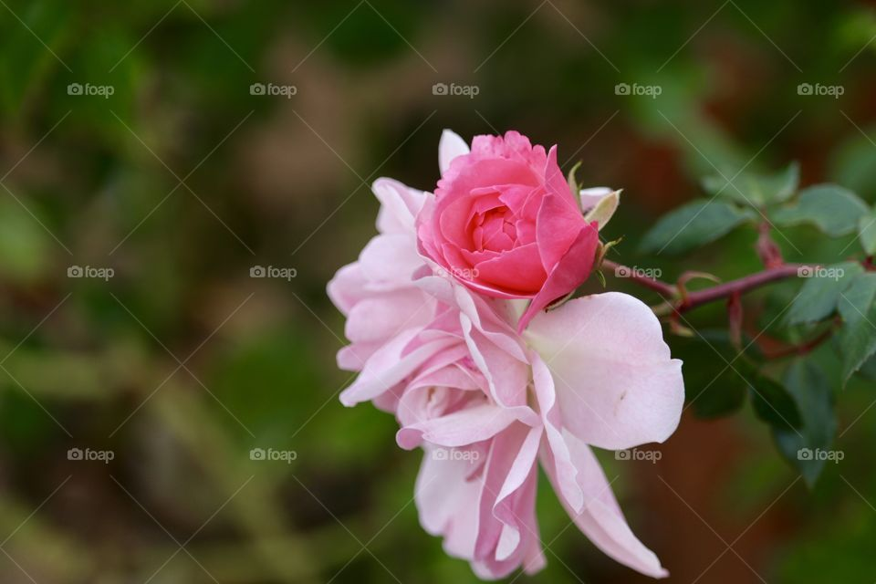 Grafted pink roses blooming