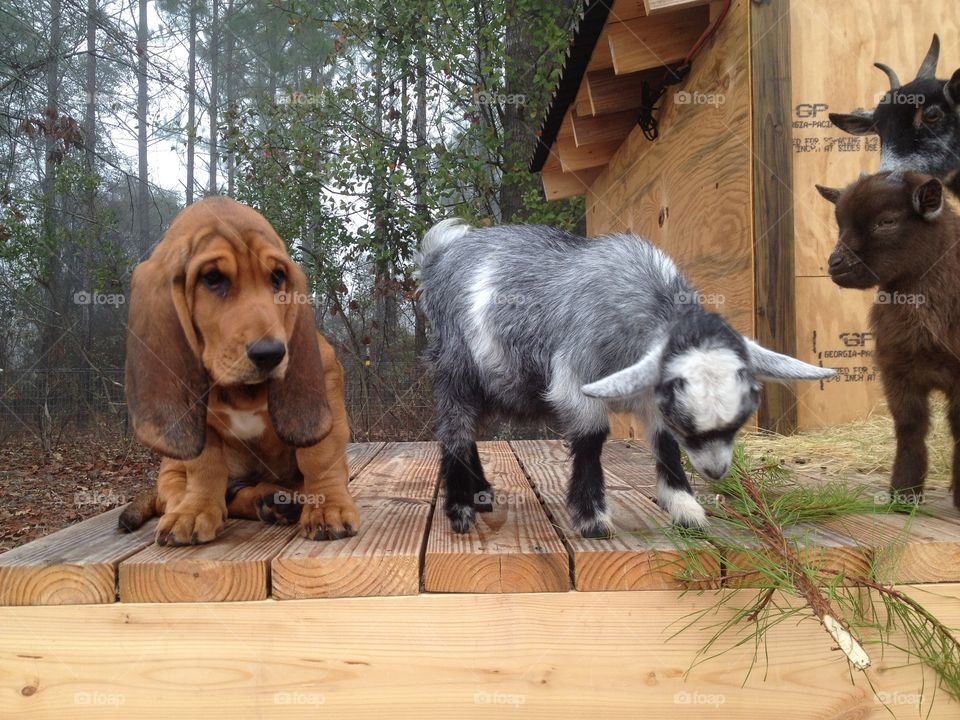 A new basset/bloodhound puppy and a Pygmy goat