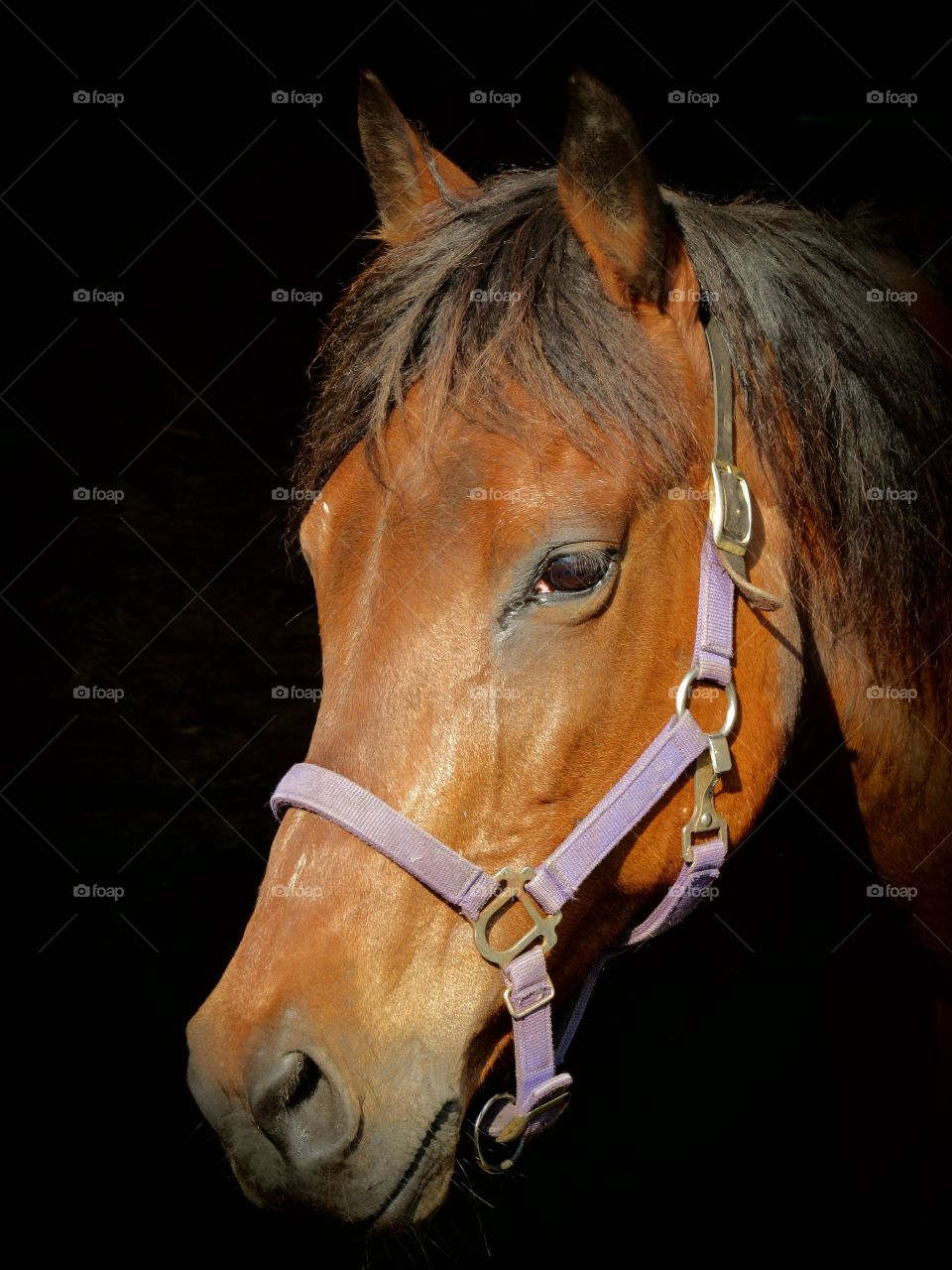 Portrait of a Bay mare in the stall with a black background and purple halter