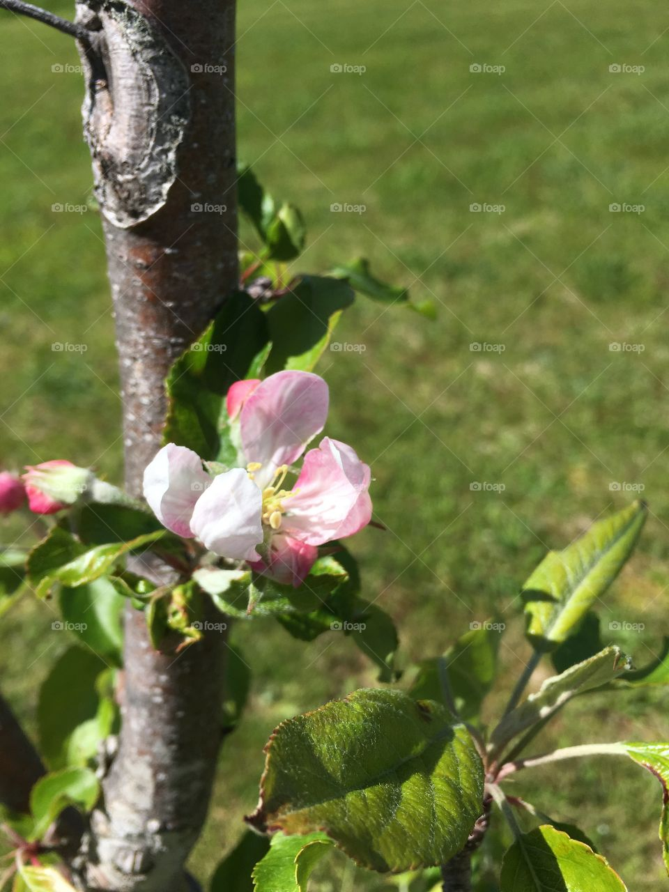 Apple Blossom in bloom. Pink and white flowers on Apple tree.
