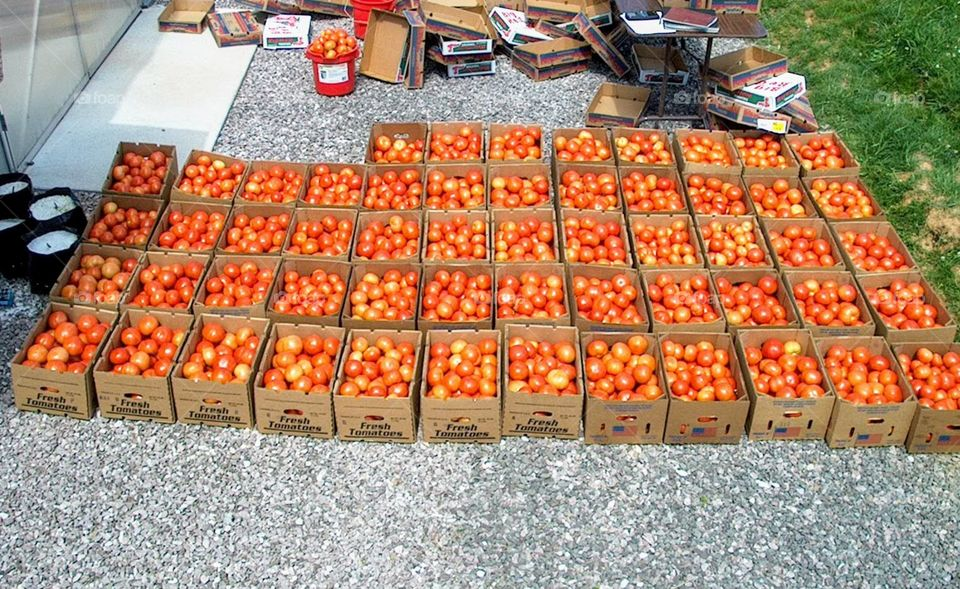 Greenhouse tomatoes grown at the University of Tennessee Knoxville