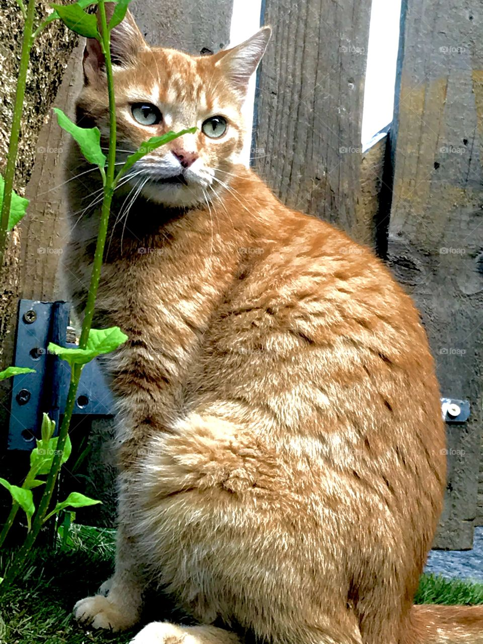 Cat posing for the camera, in front of a gate