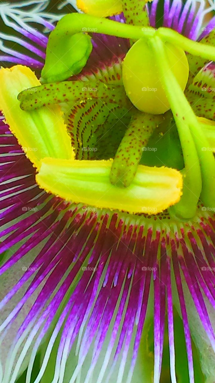 """""""Passion Flower Closeup """". It is said that the components of the passion flower tells the story of the crucifixion of Jesus Christ"""