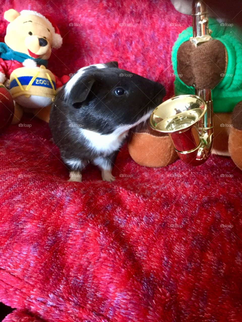 Playful and fun guinea piglet Timmy