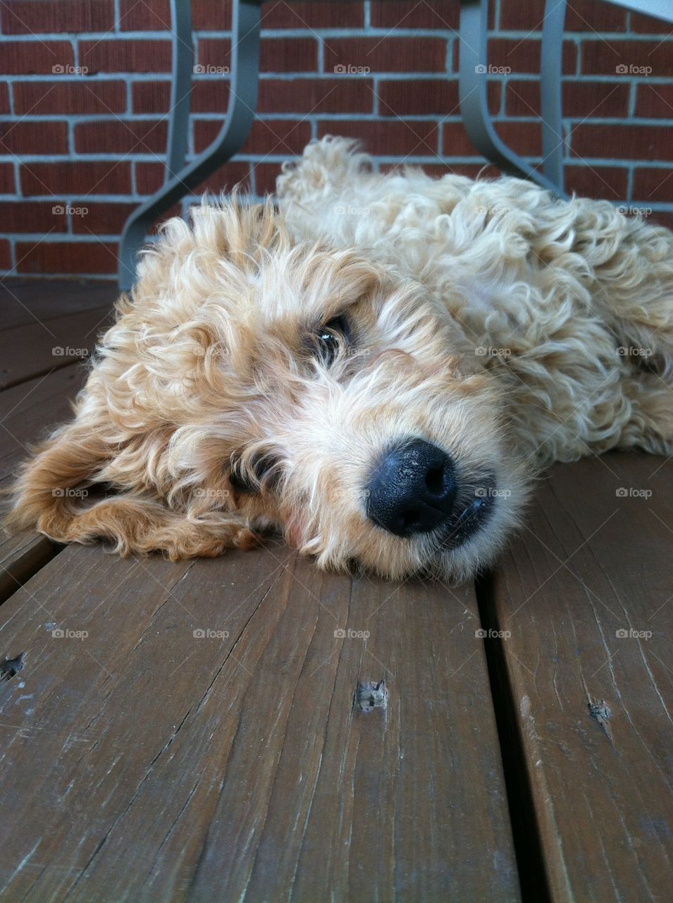 Goldendoodle. Dory the Doodle cooling off on the deck