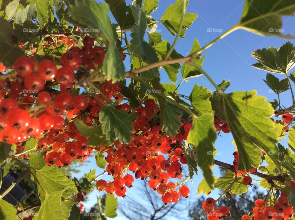 Low angle view of red currants on tree
