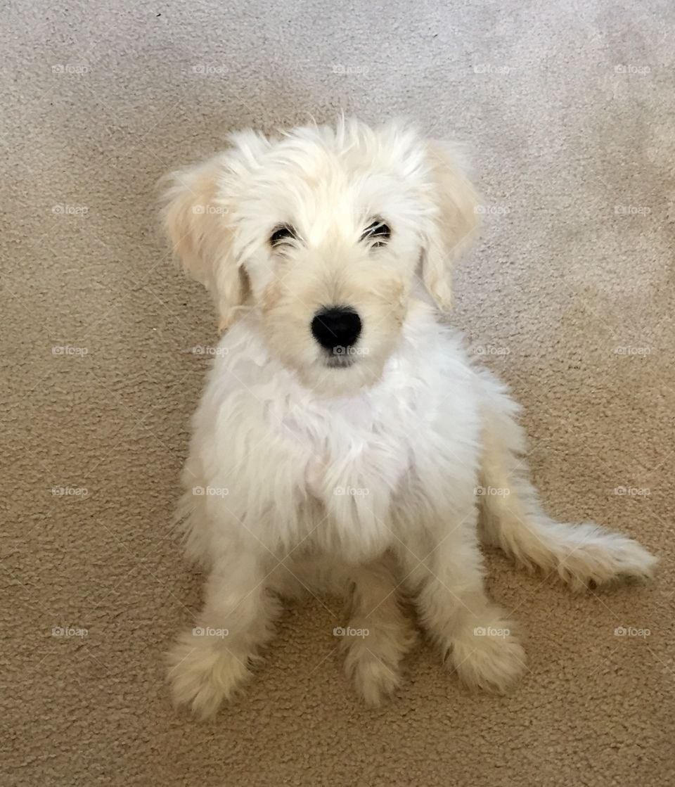 Our three-month-old goldendoodle puppy, Piper.