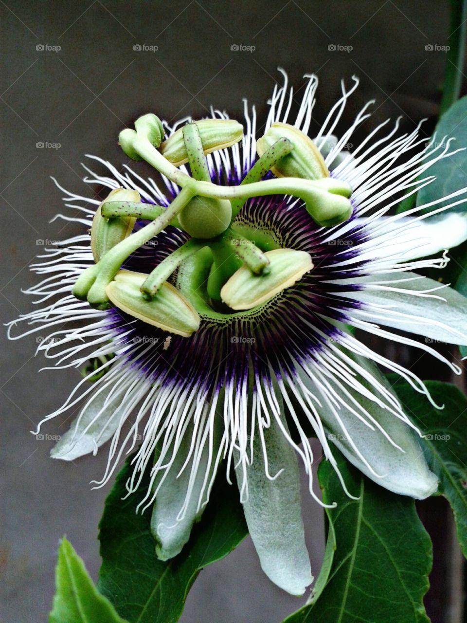 flower of fassion fruit
