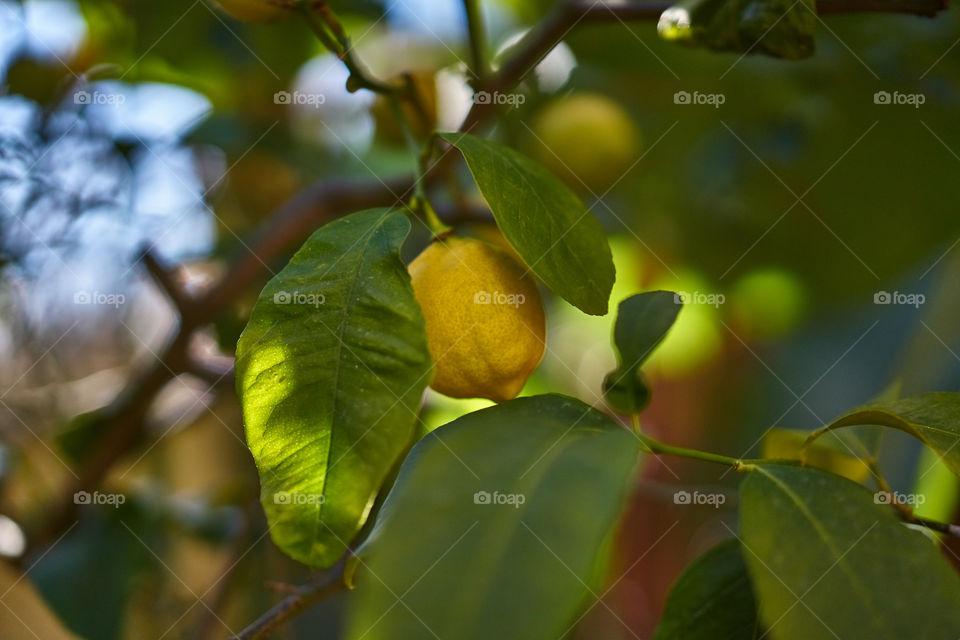 Close-up of lemons