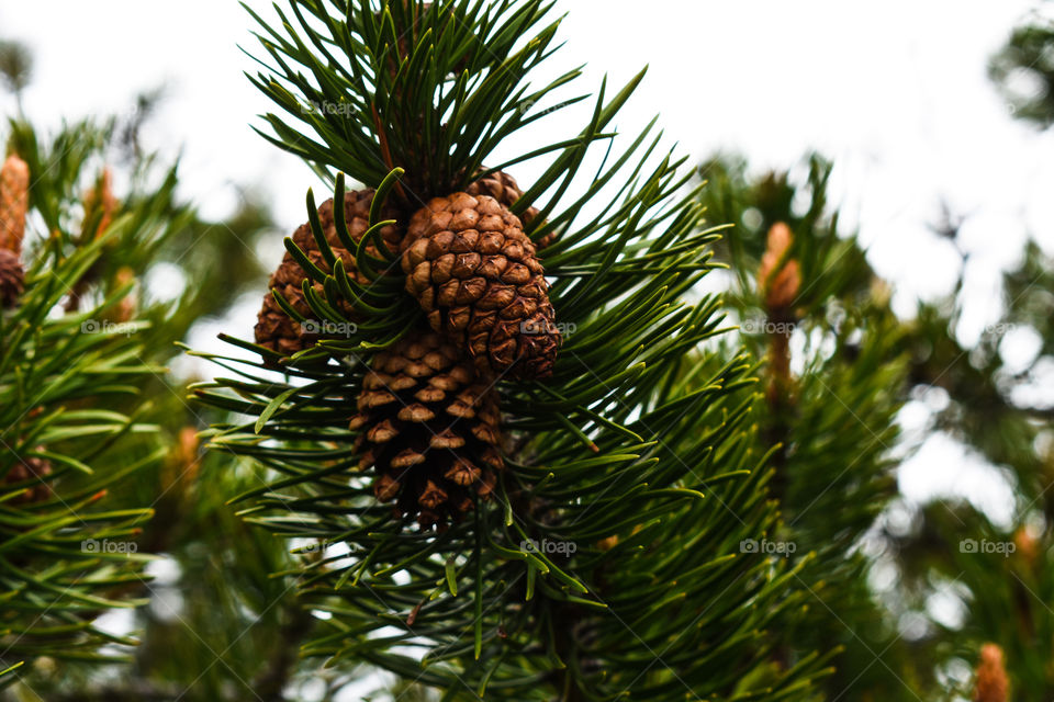 pine cones in the mountains on a tree