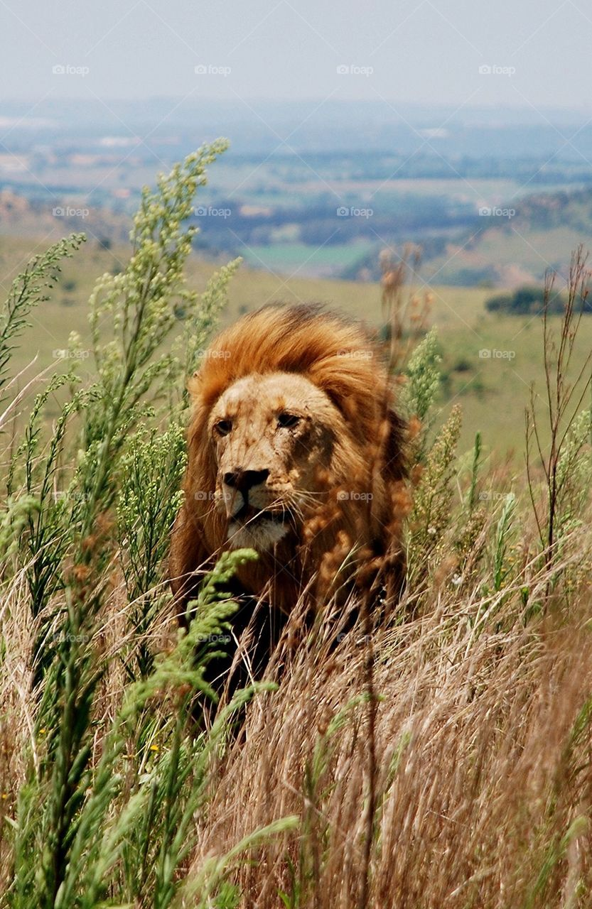 Lion at the Rhino and Lion Nature Reserve, RSA