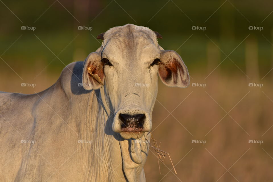 A White Cow At Sunset: Brahman