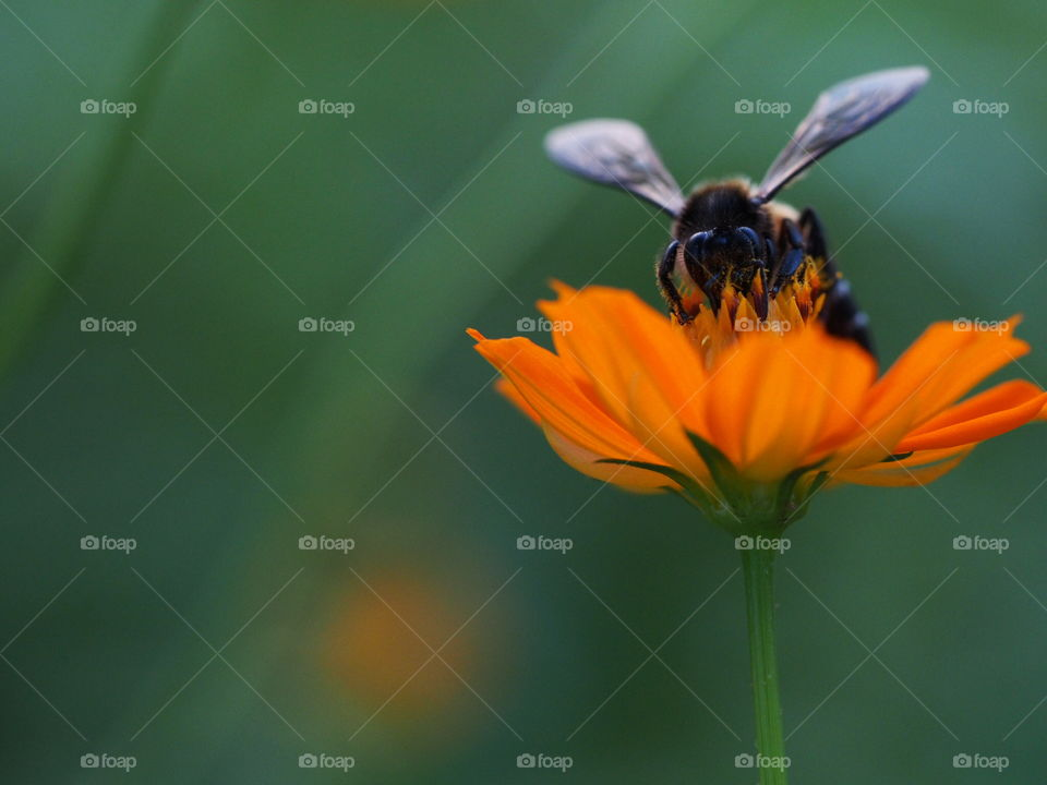 Honey bee pollinating on flower