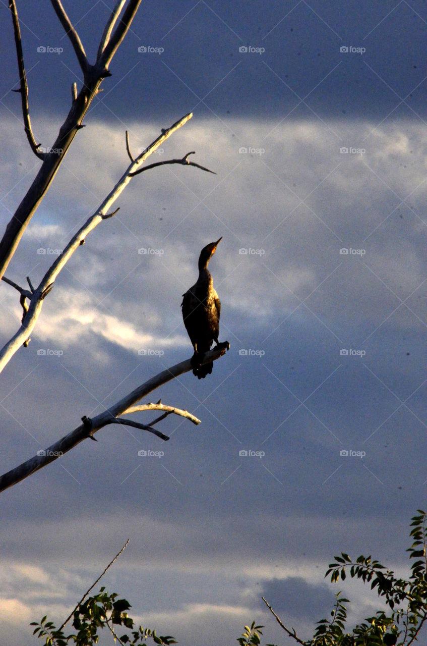 Cormorant Nesting grounds