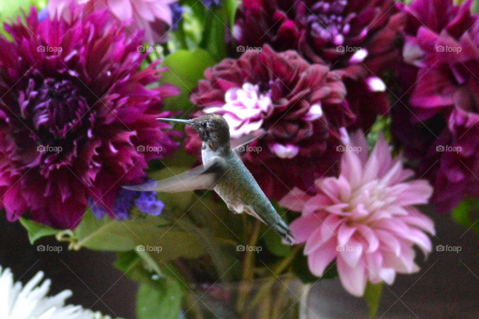 wings in motion humming bird with purple  flowers