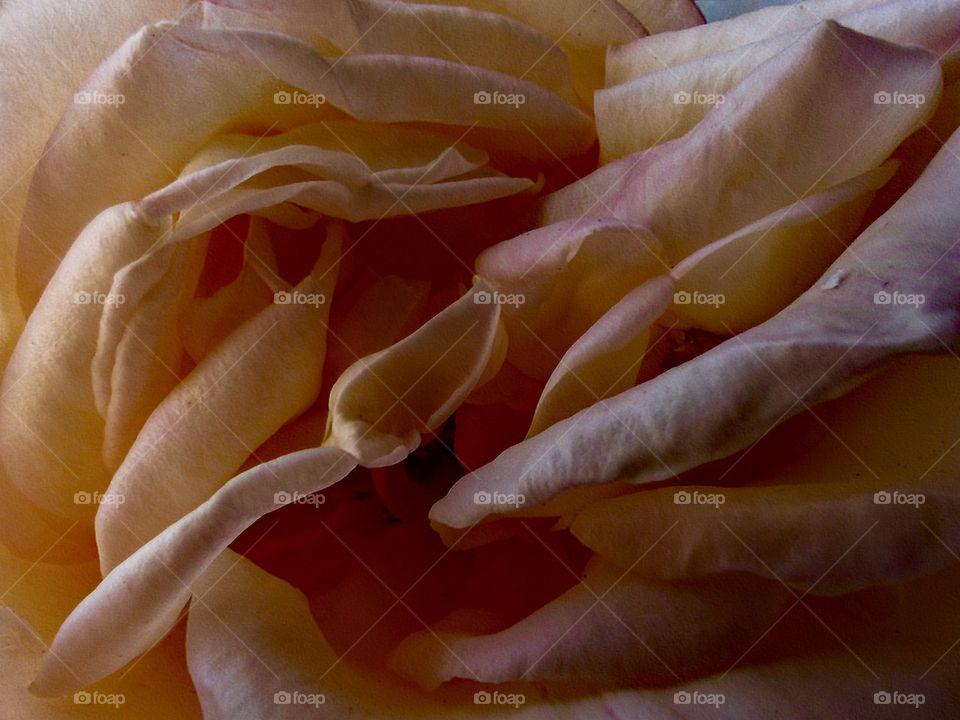 Petals of a pink rose