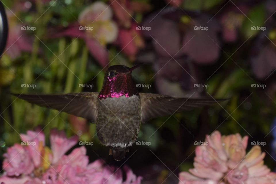 hummingbird red headed with pink and purple flowers April 7 18 close up