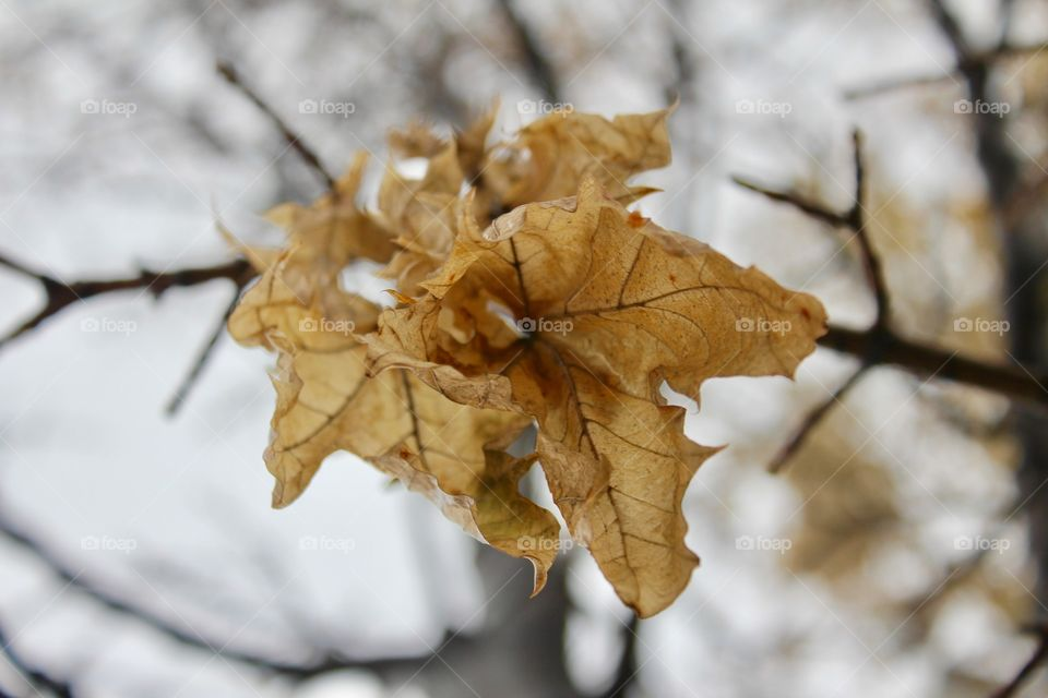 Dead leaves during winter