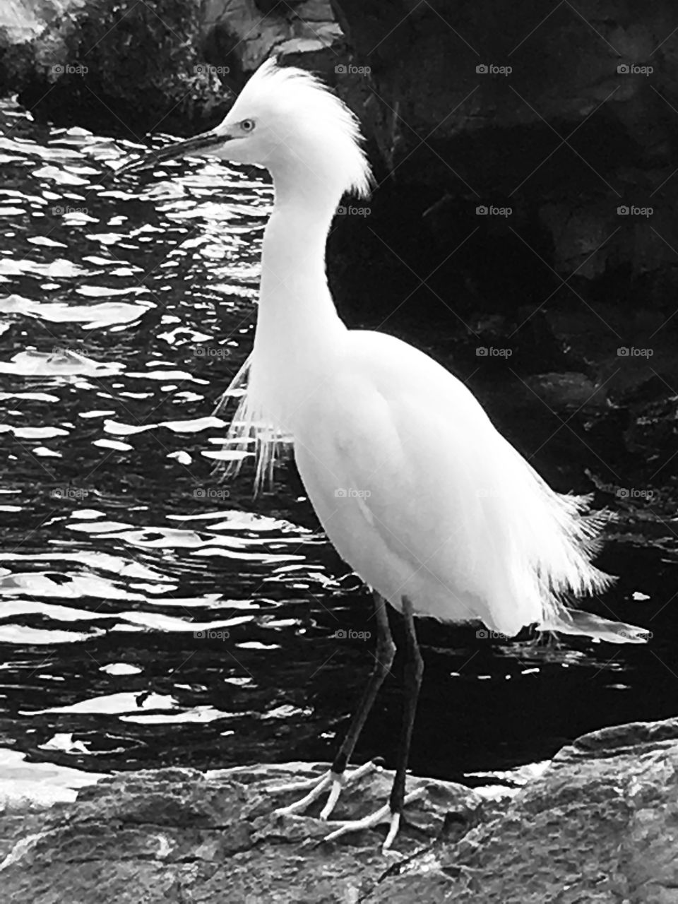 White Florida Heron at SeaWorld Orlando in black and white with ruffled feathers