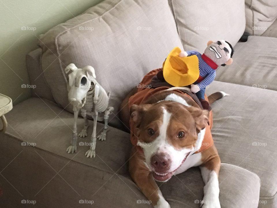 Beautiful pitbull wearing a costume saddle