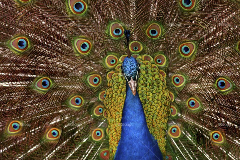 Peacock, Feather, Bird, Tail, Zoo