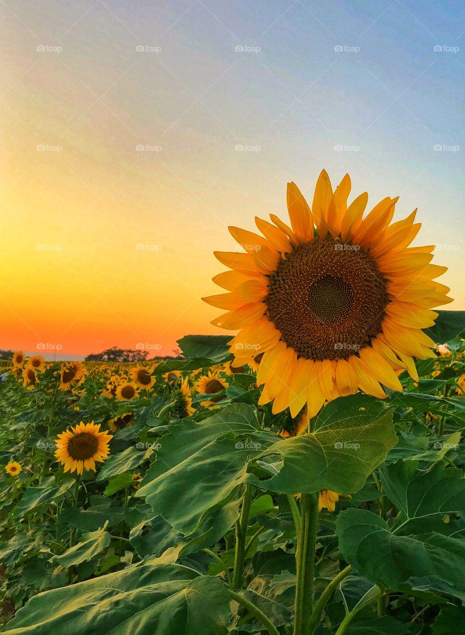 Sun setting on a sunflower field , rural Pennsylvania farm