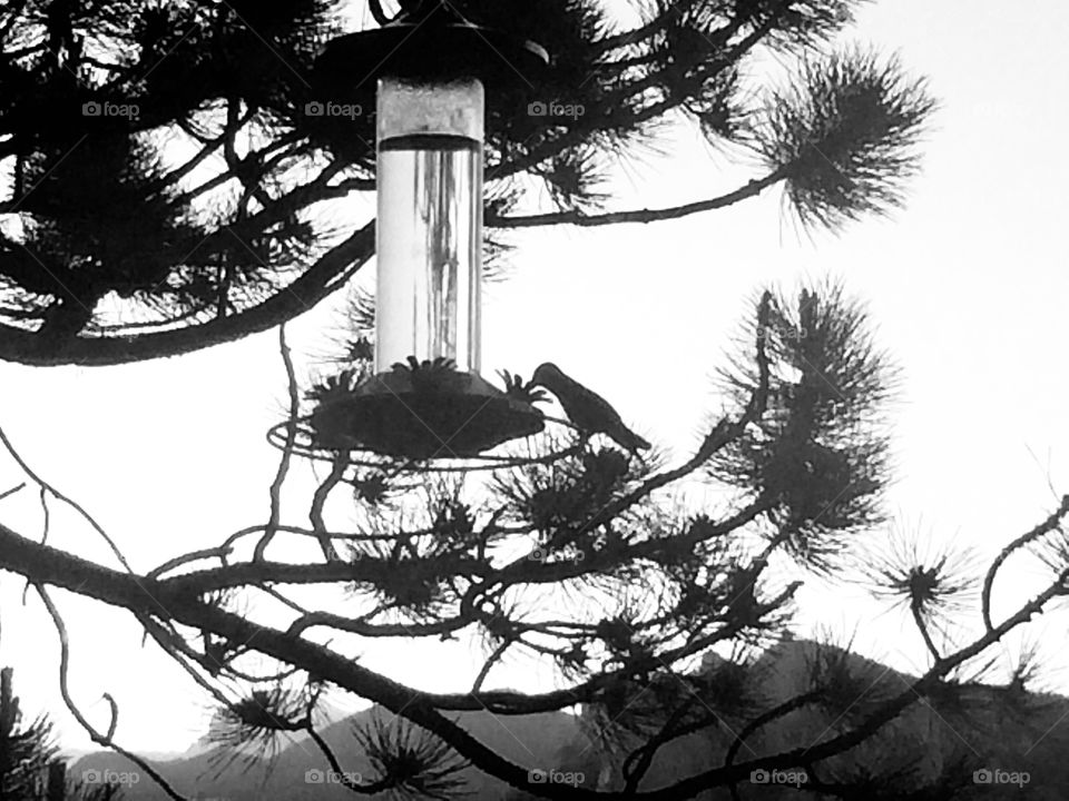 Silhouette of sweet little hummingbird enjoying an afternoon snack from a feeder up in the mountains.