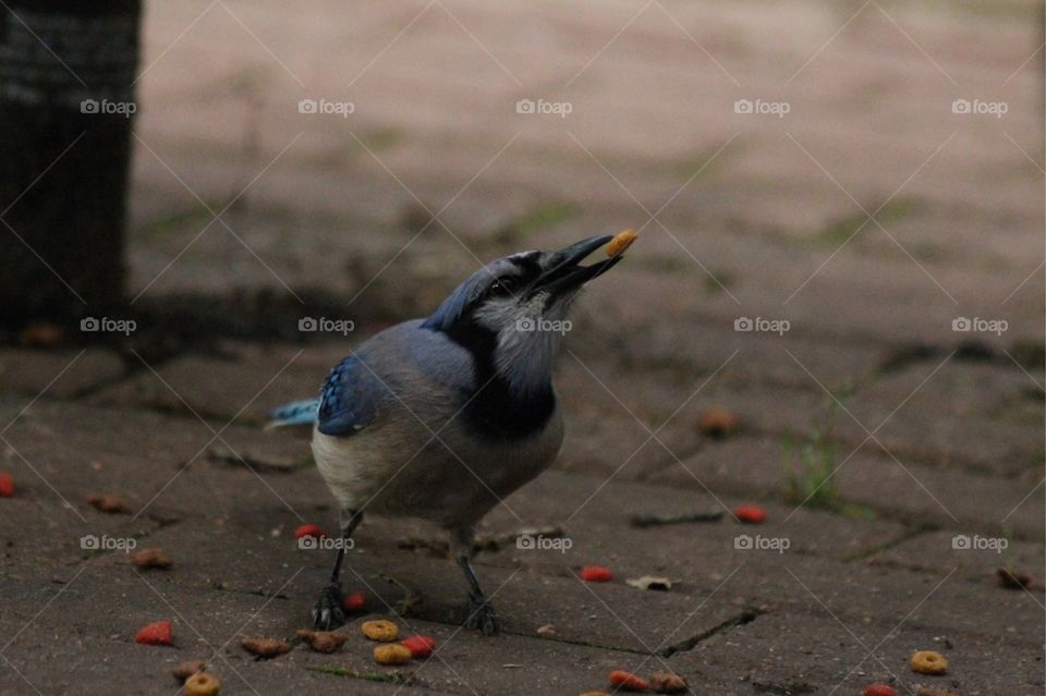 Blue jay in park