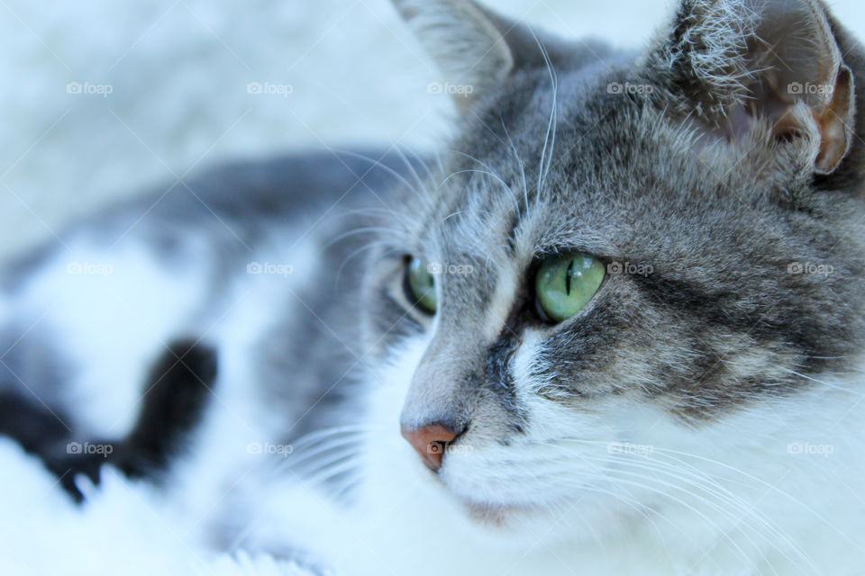 Gray and White Cat in White Background