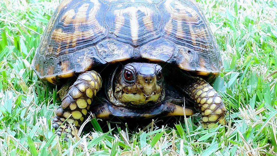 Turtle, Tortoise, Shell, Reptile, Slow