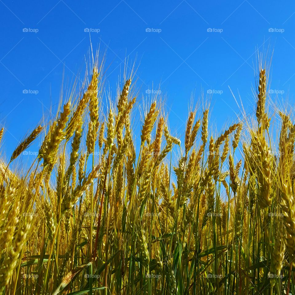 Wheat plants against blue sky
