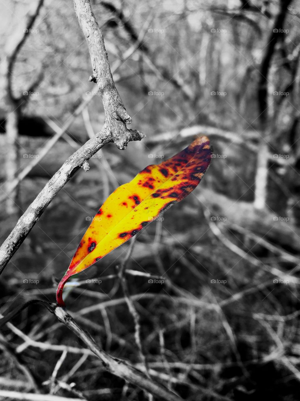 Color pop of s single vivid leaf during winter in the forest