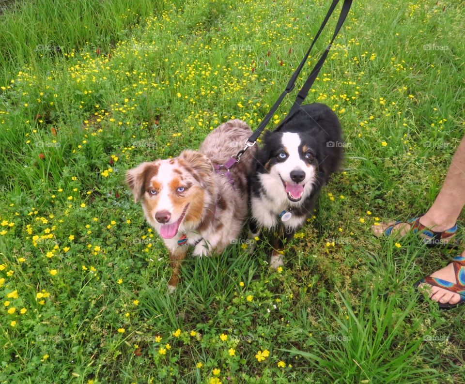 Two dogs on a walk through the spring flowers.
