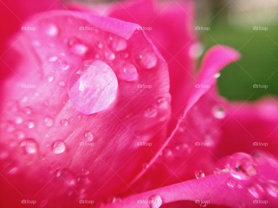 Close-up of raindrops on a rose