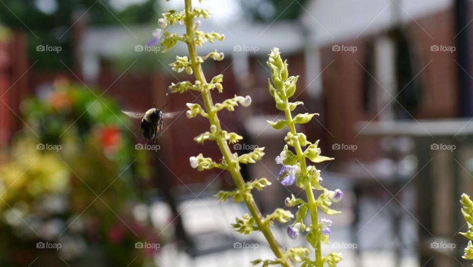 Bumblebee gathering nectar. Farmington Hills, MI