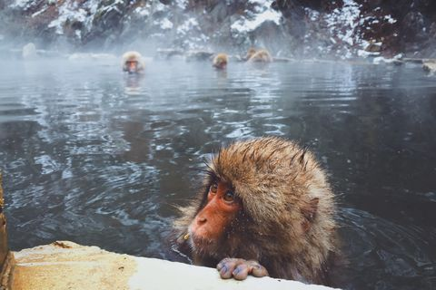 Close-up of japanese macaque