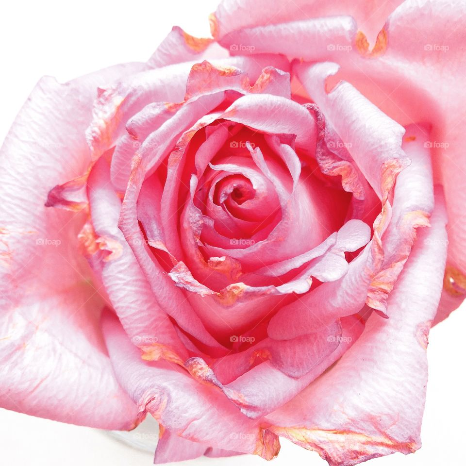 Perfectly Imperfect . Just loved watching this perfectly pink single rose bloom and as it began to die, I saw such beauty