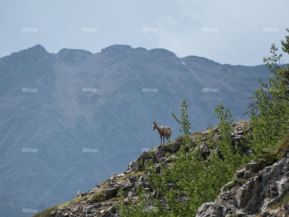 Bighorn sheep standing on the hill side with a mountain background