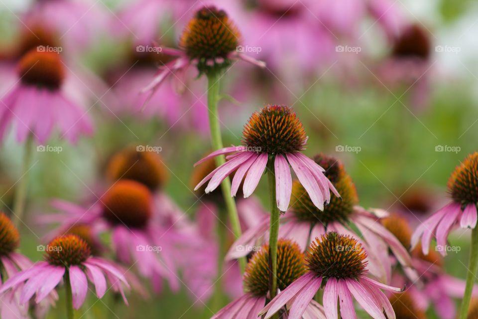 Purple coneflower field