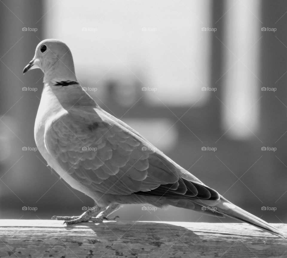 Close-up of dove