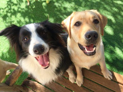 Border Collie and Labrador