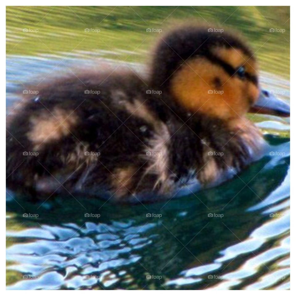 Newborn Duckling