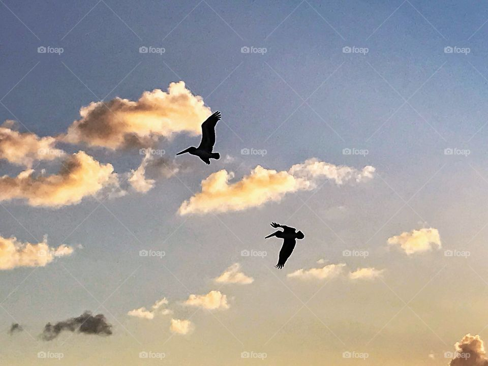 Pelicans in flight at sunset