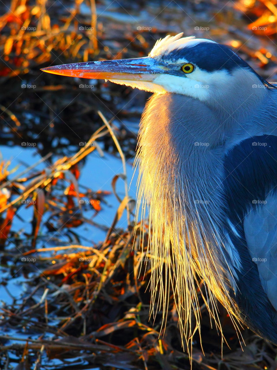 Beautiful great blue heron