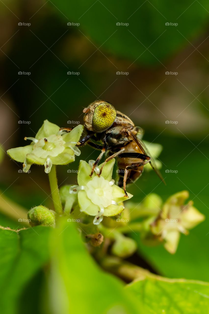 Hoverflies, sometimes called flower flies or syrphid flies, make up the insect family Syrphidae. As their common name suggests, they are often seen hovering or nectaring at flowers; the adults of many species feed mainly on nectar and pollen.