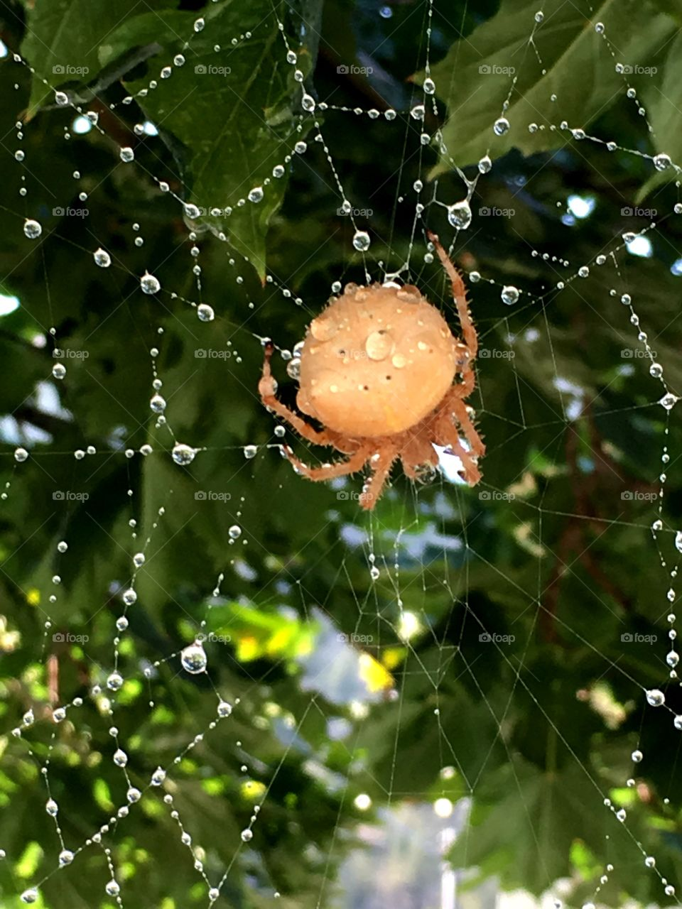 A large beige colored spider in the middle of her web with water droplets on a sunny day