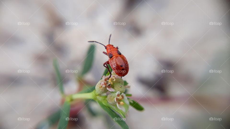 Large Milkweed Bug Class Insecta Insects Order Hemiptera True Bugs Cicadas Hoppers Aphids and Allies Suborder Heteroptera True Bugs Family Lygaeidae Seed Bugs Oncopeltus fasciatus Date taken:23 Sep 2019.