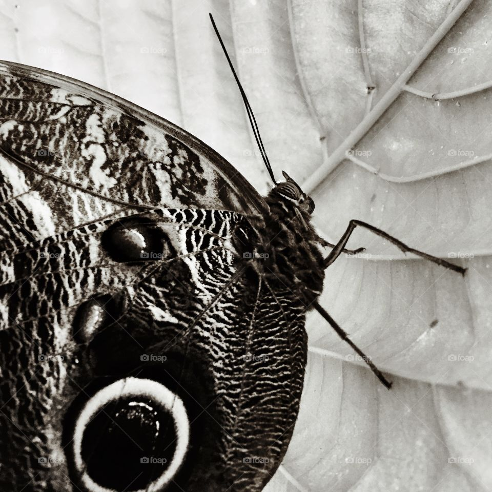 Owl butterfly macro in black and white
