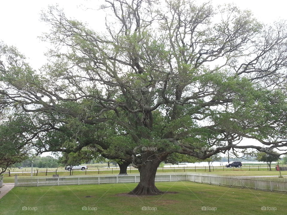 Old Oak Trees