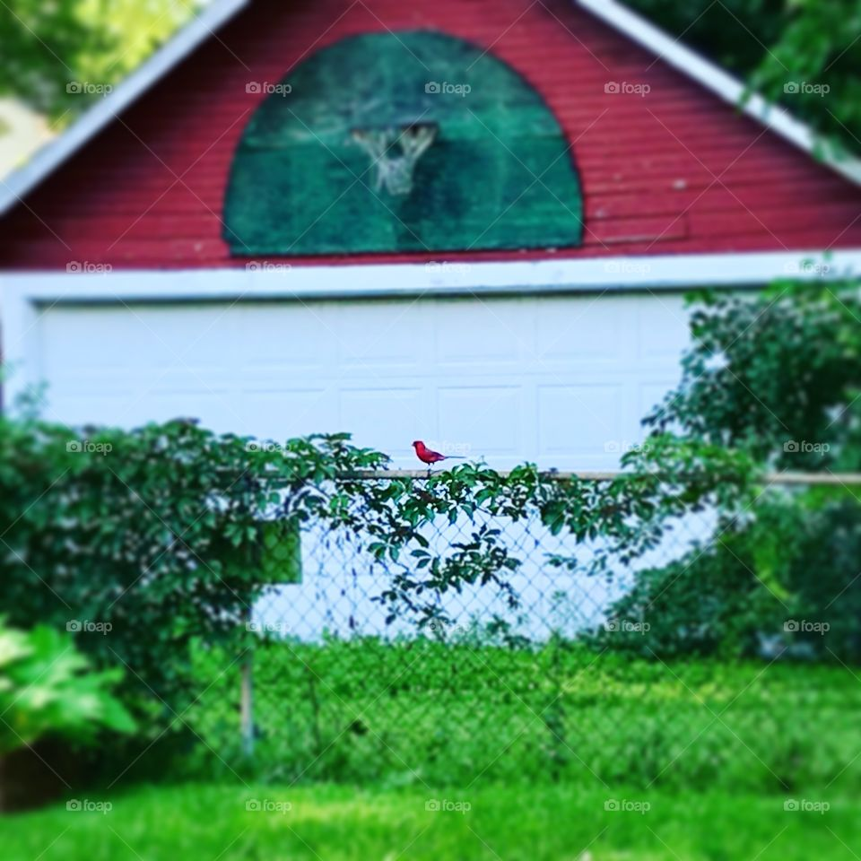 Red cardinal bird on fence by garage with basketball hoop